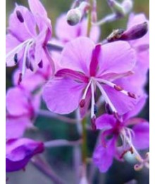 Rosebay Willowherb tea